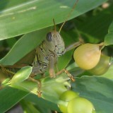What I Like About Grasshoppers Eating My Job's Tear Plants