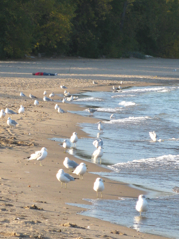 Sea Gulls and a Guy in a red shirt lounging on the beach!